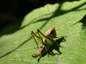 grasshopper-dreamstime